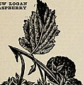 Bountiful Ridge Nurseries - your guide to better fruits and more beautiful homes for 1933 (1933) (20218565868).jpg