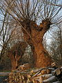 Bourgoyen knotted willow and woodpile.jpg