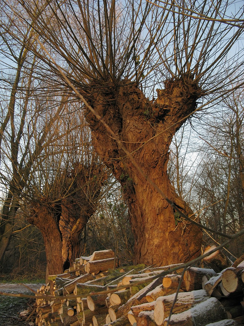 Bourgoyen knotted willow and woodpile