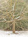 Bournemouth Gardens, a tree in snow - geograph.org.uk - 1654102.jpg