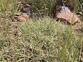 Bouteloua gracilis (3796729809).jpg