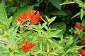 Bouvardia ternifolia 2.jpg