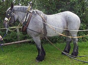 """Roan (horse) - """"Blue"""" roan"""