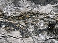 Brachiopods in fossiliferous limestone (Jeffersonville Limestone, Middle Devonian; Falls of the Ohio, southern Indiana, USA) 8 (32652103763).jpg