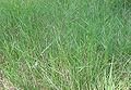 Brachypodium phoenicoides.jpg