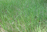 Brachypodium phoenicoides