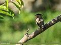 Brahminy Starling (Sturnia pagodarum) (35577361983).jpg