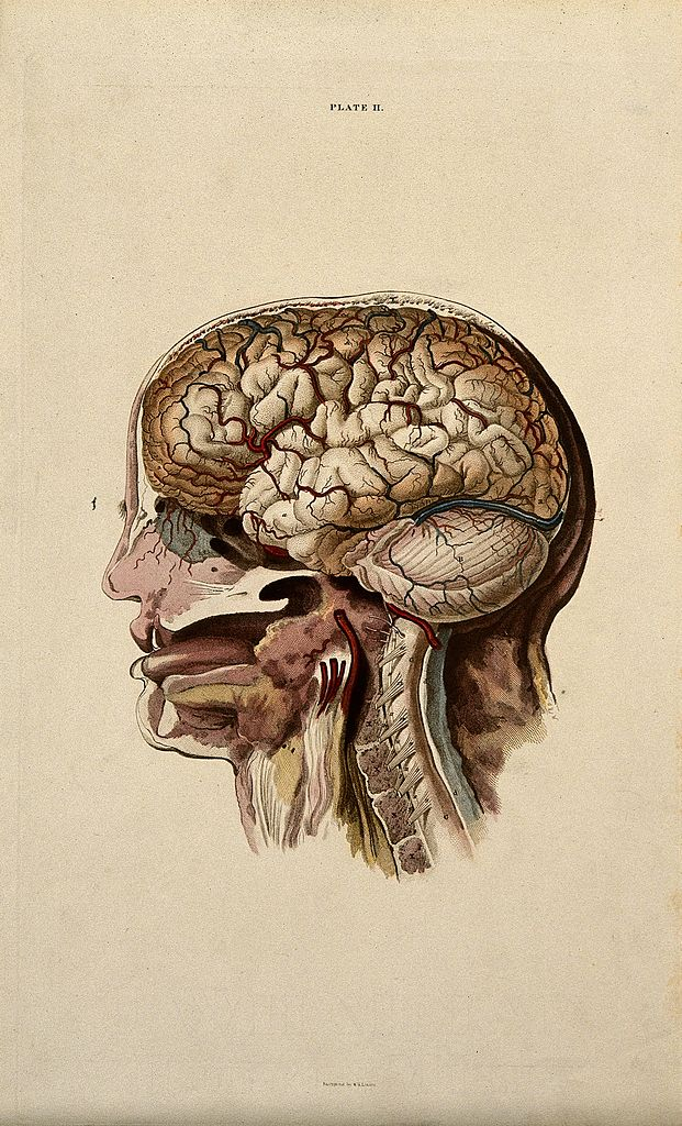 File Brain Dissection Showing Cross Section Through Head