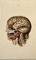 Brain; dissection showing cross-section through head and nec Wellcome V0008397.jpg