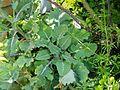 Brassica oleracea Helgoland4.jpg