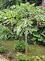 Brassicales - Carica papaya - 11.jpg