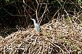 Brazil-00409 - Cocoi Heron (48963290318).jpg