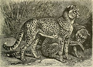 Sudan cheetah - An illustration of two Fahhad cheetah (Acinonyx jubatus soemmeringii) from Abyssania by Alfred Edmund Brehm, 1895