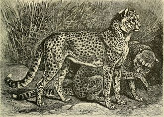 Northeast African cheetah - An illustration of cheetahs from Fahhad, Abyssania by Alfred Edmund Brehm, 1895