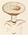 Bresadola - Lactarius controversus.png