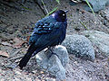 Brewer's Blackbird puffed up.JPG