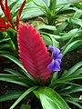 Bromeliaceae01.jpg