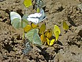 Brown-veined Whites (Belenois aurota), African Migrants (Catopsilia florella) and Broad-bordered Grass Yellows (Eurema brigitta) (6868570556).jpg
