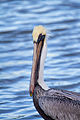 Brown Pelican - Alcatraz (Pelecanus occidentalis occidentalis) (10319291283).jpg