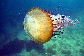 Brown Sea Nettle (14334986438).jpg