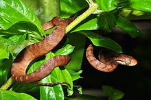 a brown snake with bars on body in foliage