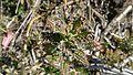Bryophyllum daigremontiana (6981856173).jpg