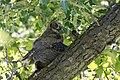 Bubo virginianus (43424452222).jpg