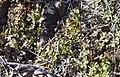Buckwheat (Eriogonum spp.), Greater Sage Grouse Lek Count Near Steens Mountain, April 2016 (26515424054).jpg