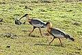 Buff-necked Ibis (Theristicus caudatus) (31754069366).jpg