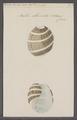 Bulla albocincta - - Print - Iconographia Zoologica - Special Collections University of Amsterdam - UBAINV0274 091 07 0020.tif