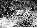 Bundesarchiv Bild 105-DOA0095, Deutsch-Ostafrika, Leopard.jpg