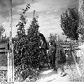 Bundesarchiv Bild 183-S79697, Berlin, Apfelernte im Kleingarten.jpg