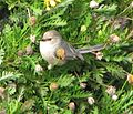 Bushtit, Marina Bay, California 1.jpg