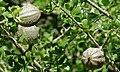 Bushveld Gardenia Gardenia volkensii (9029100518).jpg