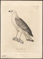 Buteo scotopterus - 1700-1880 - Print - Iconographia Zoologica - Special Collections University of Amsterdam - UBA01 IZ18200063.tif