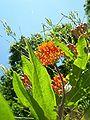 Butterfly Milkweed.jpg
