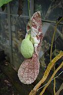 CBN Aristolochia gigantea 2015-07-13 Triton 3.jpg