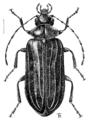 COLE Scirtidae Veronatus tricostellus.png