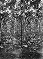 COLLECTIE TROPENMUSEUM Djatiplantsoen Banjoepoetih (1873) in bloei in 1914 TMnr 10012990.jpg