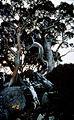 CSIRO ScienceImage 432 Native Trees on a Mountainside.jpg