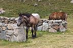 Cabalo no alto da Coma. Andorra 295.jpg