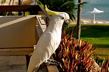 Hayman Island-New developments-Cacatua galerita -Hayman Island -perching on balcony-8