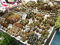 Cactus.6424.JPG