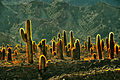 Cactus and Light, Argentina (7050274407).jpg