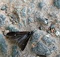Caddis Fly. Athripsodes bilineatus. (see notes) - Flickr - gailhampshire.jpg