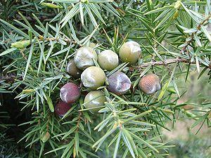 Juniperus oxycedrus - Image: Cade 2