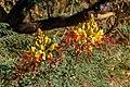 Caesalpina gilliesii 004.jpg