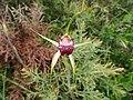 Caladenia applanata applanata 02.jpg
