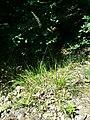 Calamagrostis arundinacea sl5.jpg