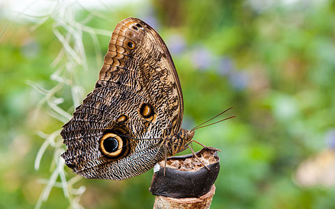 Forest Giant Owl (Caligo eurilochus) in the butterfly garden of the Maximilianpark in Hamm, Germany.